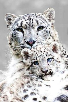 The sweet side of wild cats - 65 photos of the world of big cats - Archzine.fr - The sweet side of wild cats – 65 photos from the world of big cats - Animals And Pets, Baby Animals, Cute Animals, Wild Animals, Beautiful Cats, Animals Beautiful, Gorgeous Eyes, Beautiful Life, Beautiful Things