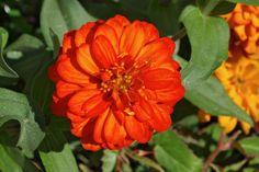 Zinnia Plant