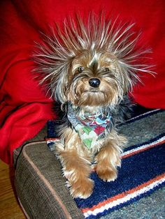 Yorkie proving there is such a thing as static electricity