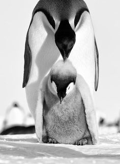 Finest black and white animal photography. Penguin Love, Cute Penguins, Animals Black And White, Black And White Pictures, Black White, Baby Animals, Cute Animals, Wild Animals, Mundo Animal