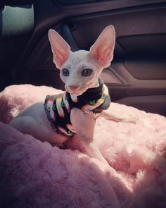 Entitled pictures of Sphynx cats Funny Cat Videos, Funny Cat Pictures, Funny Cats, Puppies And Kitties, Cats And Kittens, Dogs, Cute Hairless Cat, Sphinx Cat, Image Hd