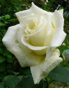 'Ice Cream' | Hybrid Tea rose. W. Kordes & Sons (Germany, 1992).nadie recibe rosas sin probar sus espinas.La vida transcurre entre espinas y Rosas. Avatar
