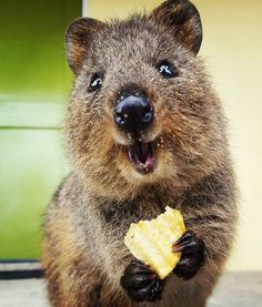30 Funny Quokka Pictures That Will Make You Book a Flight to Australia to See Them Happy Animals, Cute Funny Animals, Funny Animal Pictures, Animals And Pets, Smiling Animals, Quokka Animal, Beautiful Creatures, Animals Beautiful, Australian Animals