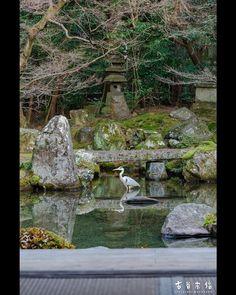 お庭に青鷺。 珍しい光景に見えるが、お寺さんにしたら迷惑な客。 池の中の鯉の稚魚や小魚を食い尽くしたり、拝観に来られたお客様や時折訪れるカワセミを威嚇したり… お抹茶飲んでいると、いつもお世話になっている受付の人に呼ばれて撮影させていただいた。 ※この後お寺さん&自分が懸命に追い払いました(笑) 京都市左京区 洛北蓮華寺  #京都 #洛北 #蓮華寺 #青鷺 #kyoto #japan #visitjapanjp #bestjapanpics #loves_nippon #lovers_nippon #loves_united_kyoto #loves_united_japan #igersjp #ig_japan #icu_japan #japan_daytime_view #team_jp_ #jp_gallery #retrip_京都 #retrip_nippon #japan_of_insta #instagramjapan #東京カメラ部 #キタムラ写真投稿 #nikon #sigma