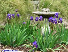 """Add a bird bath as a focal point in your iris garden. This is Iris """"Amethyst Flame"""" and Crossvine in back."""