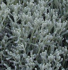 "Gray Santolina (Lavender Cotton), 12""-24"" mounding, USDA zones 6-11, Xeric, Evergray,"