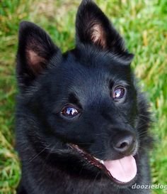 Schipperkes require training and a secure, fenced-in space to run. They are formidable barkers and can be aggressive with other dogs. Otherwise they are all over good dogs, and their personality is a matter of how they are raised, and who they are around. They often have a high prey drive, focusing on rodents and small animals, and can excel at obedience and agility competitions.
