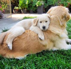 "33.6k Likes, 374 Comments - I Love Golden Retrievers (@ilovegolden_retrievers) on Instagram: ""When you're needy ☺️ @golden_retriever_news"""