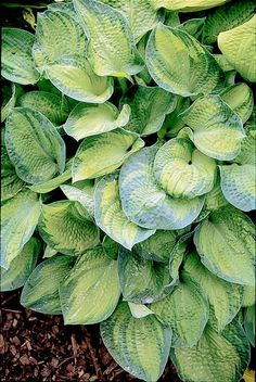 Klehm's Song Sparrow Farm and Nursery--Hosta--tokudama 'Aureonebulosa'