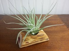 Air Plant with Red Cedar Plant Stand  H by TheCountryTouch on Etsy, $15.00