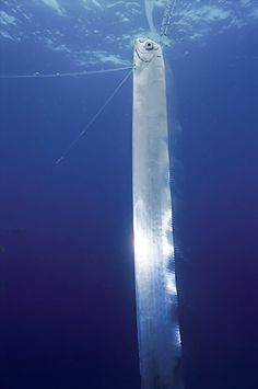 The Oarfish is a rare, solitary, and giant denizen of the ocean depths (arguably larger than a Whale Shark. (The Oarfish,17m as opposed to the Whale Shark, 12.96m in the Guinness Book of World Records.)) and is a filter feeder, comfortable cruising at depths of 200 m. Mistakenly named for its prominent pectoral oars with which it was thought to 'row', it undulates serpentlike with its dorsal fins and has been seen orienting itself vertically.