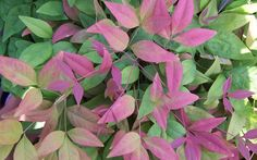 Blush Pink Nandina Berberidaceae Nandina Domestica AKA' is a Moderate growing Shrub with a Pink, Medium Green foliage color that attracts Visual Attention.