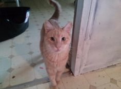 Simba is a gentle giant - we have already nicknamed him Mellow Yellow. Simba came to ARF after a family member became allertgic. Simba is a young cat that still enjoys chasing string or a catnip mouse. He would do great in any home. Date of birth - March 2011