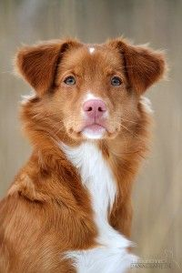 Nova Scotia Duck Tolling Retriever | der-tierblog