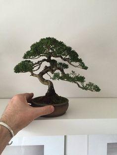 Nice mame juniper
