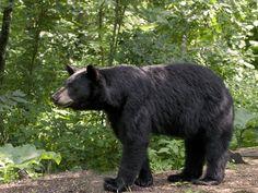 Love seeing black bear in the Smokies!