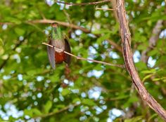 Hummingbird in Panama | Spending A Day On Our Own Private Island www.greenglobaltravel.com