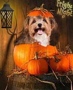 Dog Halloween Costume Contest: Cupcake