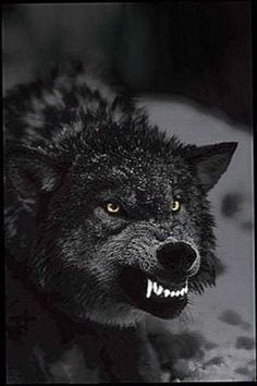 Black Wolf Wallpapers iOS - Awesome collection wolf wallpapers, images, pictures, backgrounds, photos - For all your devices Wolf And Moon Tattoo, Wolf Moon, Wolf Tattoos, Nature Tattoos, Wolf With Red Eyes, Wolf Eyes, Wolf Growling, Wolf Black And White, Werewolf Tattoo