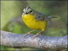 Golden-crowned Warbler (Basileuterus culicivorus)