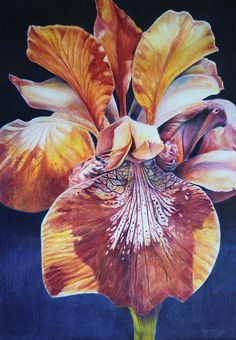"""Wild Iris"" – Amy Ready Rebella  18 x 24  Colored Pencil over watercolor pencils and Inktense Pencil on Paper"