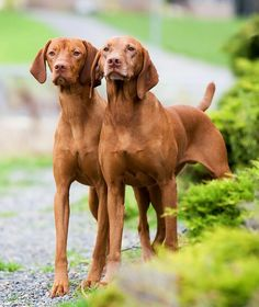 Vizsla is a distinctively different canine. It is a superior family dog as well as a true hunting companion, accepting the role of protector and friend . Wirehaired Vizsla, Vizsla Dog, Weimaraner, I Love Dogs, Cute Dogs, Hungarian Vizsla, Purebred Dogs, Hunting Dogs, Family Dogs