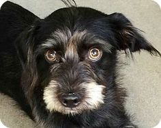 Beverly Hills, CA - Yorkie, Yorkshire Terrier/Lhasa Apso Mix. Meet Colin Farrell, a dog for adoption. http://www.adoptapet.com/pet/14103338-beverly-hills-california-yorkie-yorkshire-terrier-mix