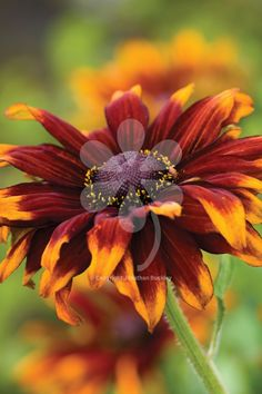 Rudbeckia hirta 'Cappucino'. This super-pollinator plant flowers flat for months, with petals in the deepest red-conker-crimson.