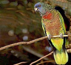 St. Lucia Amazon Parrot ~ #birdwatching