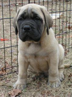 English Mastiff Puppy For Sale USA