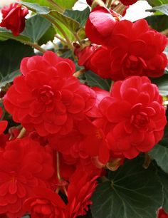 """Scarlet Double Begonia - Do you have a shady area that needs a spalsh of color? Try this gorgeous double begonia! With vivid red blooms which can reach up to 4"""" accross, these traditionally styled begonias will be sure to catch the eye of visitors to your shade garden. These tubers can also be started early indoors for even larger, more vigorously growing plants!"""