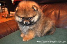 #pomeranianpuppies #pomeraniandog #pomeranians #pomeranianpuppies #poms #pom