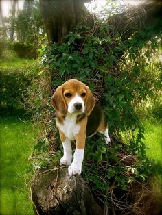 Beagle! Cuties don't get very big, but aren't as small as a chihuahua or other annoying small dogs