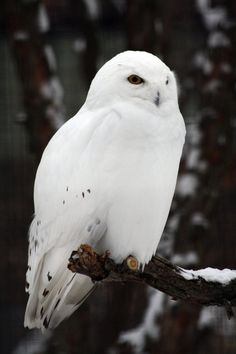 Snowy owl. Looks like Hedwig