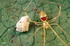 Una araña con cara feliz. La llamada araña de cara feliz hawaiana (Theridion grallator), como este ejemplar que protege sus huevos en una hoja en Maui, es endémica de las islas de Oahu, Molokai, Maui y Hawai. Esta especie es conocida por los patrones únicos que decoran su pálido abdomen. Los científicos creen que puede haber desarrollado sus marcas distintivas para disuadir a las aves depredadoras.