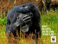 wwf chimpanse aotw