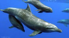 For the first time, scientists have seen dolphins adopt an orphan from another species - Science Spies Baby Whale, Bottlenose Dolphin, Wale, First Time Moms, Orphan, Dolphins, Adoption, Sea Creatures, Pets