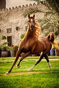 Arabian Horse Please visit barngirl.com for more.