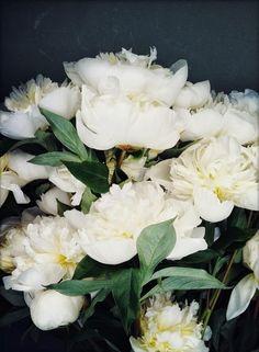 white peonies by Nicole Franzen.so beautiful. Amazing Flowers, My Flower, Fresh Flowers, White Flowers, Beautiful Flowers, White Peonies, White Gardens, Planting Flowers, Floral Arrangements