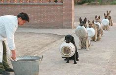 police-dogs-in-china-waiting-for-food
