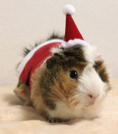 Guinea pig with a Santa hat.
