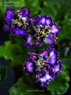 ❀ African Violet Saintpaulia Водяной (Дадоян) / Vodianoj (Dadoyan) Leaf  ❀