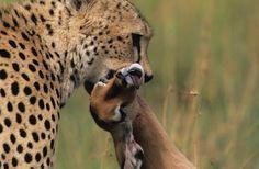 Gepard se svou čerstvě ulovenou kořistí (Keňa). Toto nejrychlejší suchozemské zvíře loví nejčastěji malé kopytníky (gazely  nebo impaly). Když je příležitost, loví i menší savce.