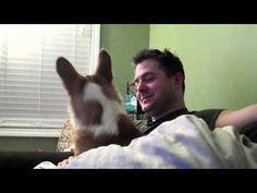 """Funny Confused Corgi  - """"0:30 """"it was you!"""" Haha, awesome corgi video"""""""