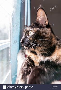 13ae18c94d7134 Download this stock image: A beautiful tortoiseshell cat sits on a perch  looking wistfully out