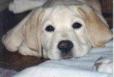 Caleb - Labrador Retriever