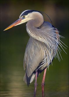 Great-Blue-Heron-3D-Lenticular-Postcard-Greeting-Card