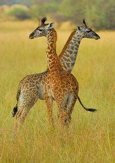 Tanzania, young giraffes | Flickr - Photo Sharing!