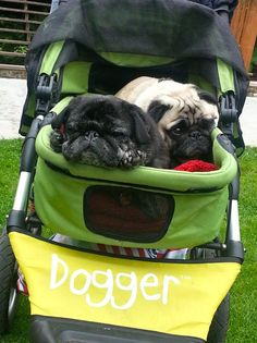 Meet Angus (fawn) and Uli (black). According to close friends, Uli is the eldest and during walks always prefers to follow, bringing up the rear. But when it comes to the Dogger, he always claims the front seat. #pug #dogger
