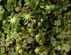 Marchantia polymorpha, with antheridial and archegonial stalks. I think I'll just agree with Wikipedia that this is one of the or so species of liverwort. Photo by Jeff deLonge.